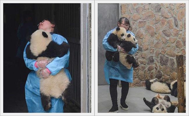 Duan adalah pengasuh panda yang sabar dan sayang terhadap panda-pandanya | Photo: Copyright shanghaiist.com