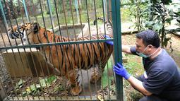 Dokter hewan yang juga aktivis ASTI memeriksa Eva Harimau Sumatera di tempat Pusat Transit Satwa Gadog ASTI Bogor, Senin (11/3). Sebelumnya Eva dipelihara pengusaha pada sebuah viila di Gununggeulis Bogor pada Oktober 2013 silam. (merdeka.com/arie basuki)