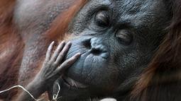 Salah satu induk orangutan Kalimantan, Theodora, menggendong bayinya yang baru lahir di kebun binatang Jardin des Plantes, Paris, Rabu (24/10). Orangutan masuk dalam kriteria Endangered species atau yang terancam punah. (Eric FEFERBERG/AFP)