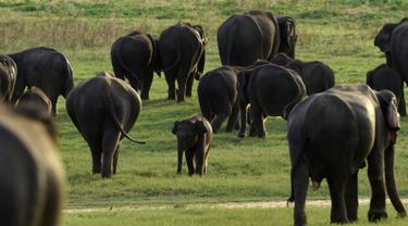 Dalam foto yang diambil pada 30 Juli 2018, seekor bayi gajah Sri Lanka berjalan dengan kawanannya di taman nasional Kaudulla, Habarana. Gajah sri lanka adalah salah satu dari tiga subspesies gajah asia. (AFP PHOTO/ISHARA S. KODIKARA)