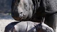 Betty badak bercula satu dan putra barunya yang baru lahir bermain di kandang mereka di Kebun Binatang di Berlin, Jerman, Kamis, (6/9). Anak badak dari bunda Betty ini lahir di pagi hari Rabu, 5 September 2018. (AP Photo/Michael Sohn)