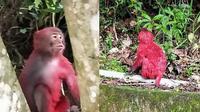Monyet Pink (sumber: dailymail)