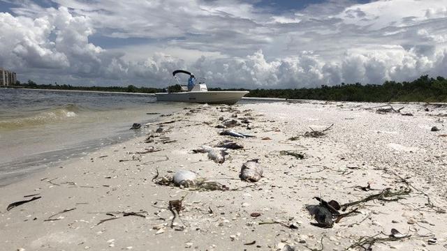 Alga Merah 'Serbu' Pantai di Florida, Pemerintah Tetapkan Status Darurat