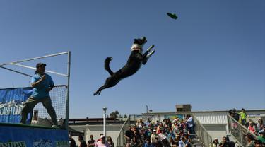 Seekor anjing bernama Athena melompat ke kolam saat mencoba menangkap mainannya dalam kompetisi Splash Dogs di Costa Mesa, California (28/4). Dalam kompetisi ini para anjing harus melewati rintangan dan tantangan. (AFP/Mark Ralston)