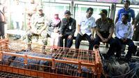 Sebanyak delapan ekor buaya dititipkan ke penangkaran buaya, Banyumas. (Foto: Liputan6.com/BKSDA Jateng/Muhamad Ridlo)