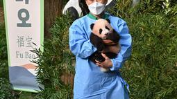 Seorang pengasuh menunjukkan anak panda Fu Bao yang lahir 107 hari lalu di Korea Selatan, saat upacara untuk mengungkapkan namanya di Taman Hiburan Everland di Yongin pada Rabu (4/11/2020). Fu Bao adalah bayi panda pertama yang lahir di Korsel dan merupakan peristiwa langka.  (Jung Yeon-je / AFP)