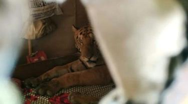Harimau yang kabur ke rumah warga di India. (WTI)