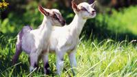 Untuk mengurus anak-anak kambing selagi ibunya dipekerjakan, peternakan membuka lowongan untuk mencari volunteer.