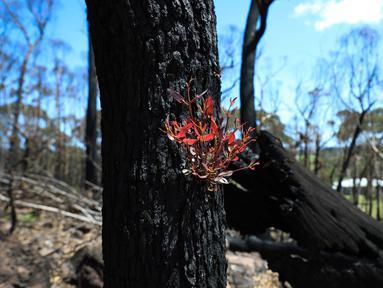 Pohon kembali bertunas setelah sempat terbakar hangus dalam kebakaran hutan di dekat Teluk Batemans, Australia, Jumat (27/2/2020). Kebakaran hutan yang melanda Australia selama berbulan-bulan telah melumat seperlima dari hutan negara tersebut. (Xinhua/Chu Chen)