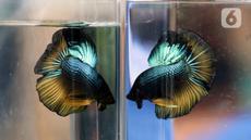 Tampilan salah satu jenis ikan cupang dalam Pameran dan Bazaar Cupang di Pasar Gembrong Baru Cipinang, Jakarta, Jumat (30/10/2020). Ajang yang berlangsung hingga 30 November 2020 itu menampilkan beragam jenis ikan cupang (Betta sp) dengan harga bervariasi. (Liputan6.com/Helmi Fithriansyah)