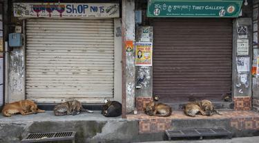 Anjing jalanan tidur di pasar saat toko-toko tetap tutup karena pandemi COVID-19 di Dharmsala, India, Rabu (5/5/2021). Pemerintah India menghadapi seruan penguncian ketat atau lockdown nasional secara total untuk memperlambat gelombang besar infeksi virus corona. (AP Photo/Ashwini Bhatia)