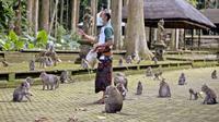 Manajer Operasional Objek Wisata Sangeh Monkey Forest, Made Mohon memberi makan kera dengan kacang sumbangan di Sangeh, Bali, pada 1 September 2021. Sepinya turis di Bali selama pandemi membuat kawanan monyet di Sangeh Monkey Forest kelaparan dan mulai mendatangi pemukiman. (AP/Firdia Lisnawati)