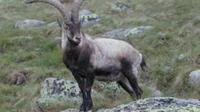Bucardo (Pyrenean ibex), sejenis kambing liar Spanyol yang pernah punah. (Sumber Wikipedia)
