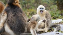 Kawanan monyet emas di Pusat Penelitian Monyet Emas Dalongtan, Taman Nasional Shennongjia, Provinsi Hubei, China, 11 Oktober 2020. Berkat upaya otoritas setempat dan perbaikan lingkungan selama beberapa tahun terakhir, jumlah monyet emas di Shennongjia kini hampir 1.500 ekor. (Xinhua/Wang Siban)