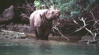 Meskipun sudah sangat langka, tapi inilah hewan endemik yang ada di Taman Nasional Ujung Kulon, selain Badak Jawa. (Foto: cekaja.com)
