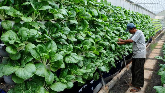 Green House Marunda Hijau Percontohan Lahan Hidroponik