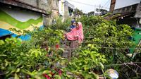 Tiap kampung berkebun mendapat tambahan komoditas dari pemerintah seperti bawang, cabai, tomat, terong, kemangi dan aneka bumbu dapur lainnya. (Foto: Liputan6.com/Humas Pemkot Bandung/Arie Nugraha)