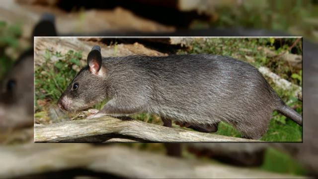5 Tikus Terbesar di Dunia, dari Afrika hingga Sumatera