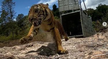 Harimau sumatra bernama Suro