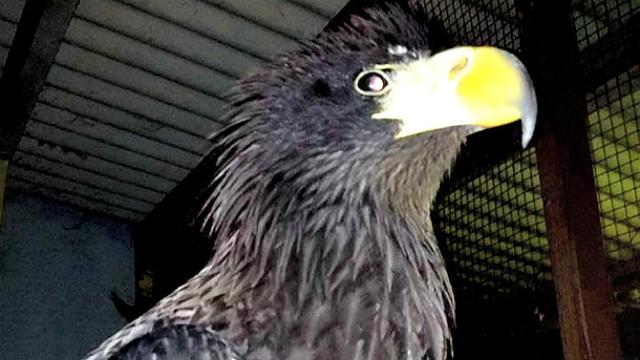 610+ Foto Gambar Burung Elang Yang Ada Di Indonesia HD Paling Unik Gratis