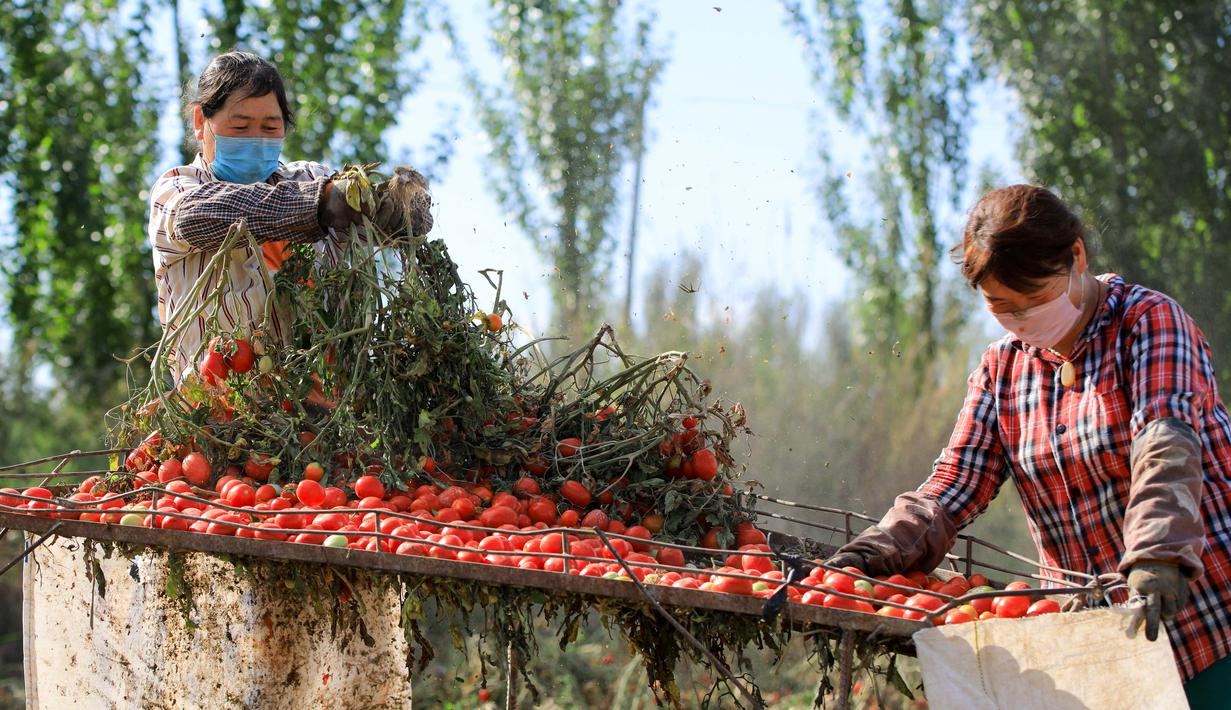 Sejumlah petani memanen tomat di wilayah Bohu, Daerah Otonom Uighur Xinjiang, China, 5 Agustus 2020. Saat ini, lebih dari 1.000 hektare tomat di wilayah Bohu telah memasuki musim panen dan akan diproses lebih lanjut. (Xinhua/Nian Lei)