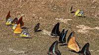 Kupu-kupu di Taman Nasional Bantimurung Bulusaraung. (dok. tn-babul.org/Novi Thedora)