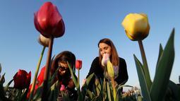 Pengunjung memetik bunga tulip di Cornaredo, Italia, (29/3). Lahan berisikan bunga tulip ini merupakan tempat penanaman pertama di Italia. Taman bunga tulip ini dibuka pada tanggal 28 Maret. (AP/Antonio Calanni)