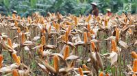 Hamparan ladang jagung saat panen raya di Tuban, Jawa Timur, Jumat (9/3). Panen raya tersebut menghasilkan 33,7 ton jagung. (Liputan6.com/Angga Yuniar)