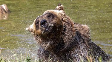 Polah Beruang Cokelat di Tengah Terik Gelombang Panas Kosovo