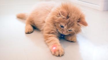 Kucing Terobsesi dengan Laser Pointer