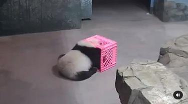 Anak panda Kebun Binatang Nasional di Washington