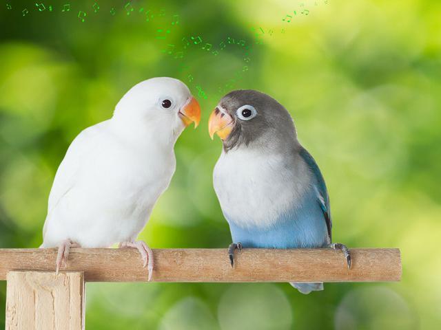 11 Cara Membedakan Lovebird Jantan Dan Betina Yang Akurat Kicau Mania Wajib Tahu Citizen6 Liputan6 Com