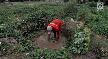 Petani mencuci kangkung menggunakan air kubangan di perkebunan sayuran kawasan Sunter, Jakarta, Selasa (9/7/2019). Akibat kemarau, lahan pertanian di kawasan tersebut mengalami kekeringan sehingga petani terpaksa menggunakan air dari selokan untuk menyiram sayuran. (merdeka.com/Iqbal S. Nugroho)