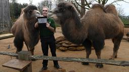 Penjaga menghitung jumlah unta Baktria saat melakukan sensus tahunan di Kebun Binatang ZSL London, Inggris, Kamis (2/1/2020). Kebun Binatang ZSL London melakukan sensus tahunan terhadap lebih dari 500 spesies. (DANIEL LEAL-OLIVAS/AFP)