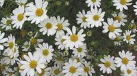 4 Bunga Berasa Manis Ini Mampu Tangkal Batuk Hingga Stres