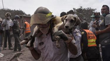 Seorang petugas menggendong anjing yang berhasil diselamatkan dari letusan gunung Feugo di desa San Miguel Los Lotes, Guatemala (5/6). Dua hari setelah letusan tim penyelamat mencari dan mengevakuasi korban letusan gunung Fuego. (AFP/Johan Ordonez)