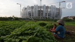 Petani memanen bayam dan kangkung di tanah garapan Taman BMW, Jakarta,Selasa (31/8/2021). Lahan kosong yang dirubah menjadi lahan produktif di samping proyek pembangunan Jakarta International Stadium (JIS) menjadi lahan pertanian sayur-sayuran. (merdeka.com/Imam Buhori)