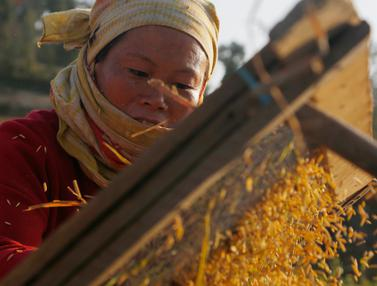Petani Nepal Memanen Padi