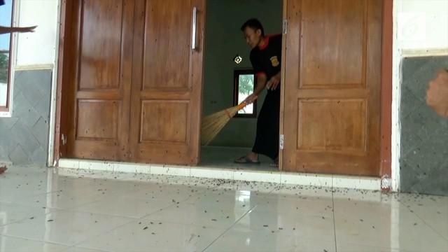 Ulat bulu yang biasa bermukim di pohon jati, mulai memasuki rumah-rumah warga di Tuban. Diperkirakan jumlahnya mencapai ribuan.