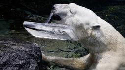 Seekor beruang kutub jantan, Tongki memakan  buah yang telah dibekukan di Everland Resort, Korea Selatan, Kamis (21/6). Akibat udara panas, pihak pengelola kebun binatang berinisiatif untuk memberi es krim pada beruang 23 tahun itu. (AP/Ahn Young-joon)