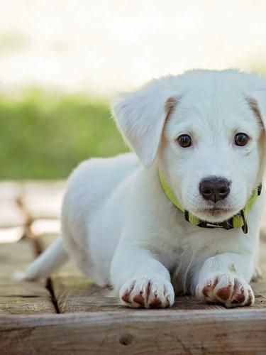 Ilustrasi Anak Anjing