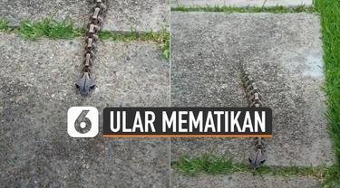 Nampak ular ini terlihat seperti ulat bulu. Namun ternyata memiliki racun yang sangat dahsyat.