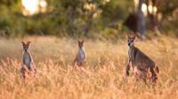 Ilustrasi kanguru. (iStockphoto)
