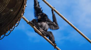 Ilustasi Gibbon