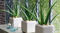 2. Aloe Vera (lidah buaya). Foto: WittyFeed