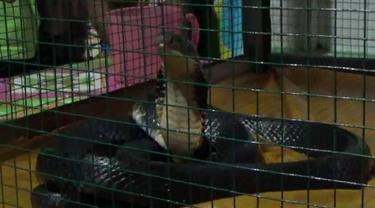 Pertemuan Tak Sengaja Warga Boalemo dan Ular Kobra Jelmaan Putri Kota Gaib