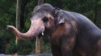 Kaavan dijuluki sebagai gajah paling kesepian di dunia karena tidak memiliki teman (Foto: Instagram/ftwglobal).