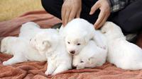 Anjing yang diberikan Pemimpin Korea Utara Kim Jong-un kepada Presiden Korea Selatan Moon Jae-in telah melahirkan enam ekor anak anjing (gambar) (sumber: The Blue House)