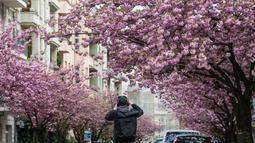 Seorang pria mengambil foto sebuah jalan yang dipenuhi dengan bunga sakura yang mekar di kota Berlin, Jerman pada 23 April 2019. Pohon sakura di Jerman memang lazim ditanam di ruang-ruang terbuka hijau, selain sebagai peneduh juga untuk mempercantik kota. (John MACDOUGALL / AFP)