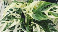 Monstera adansonii variegata (dok.monsteramania.com)